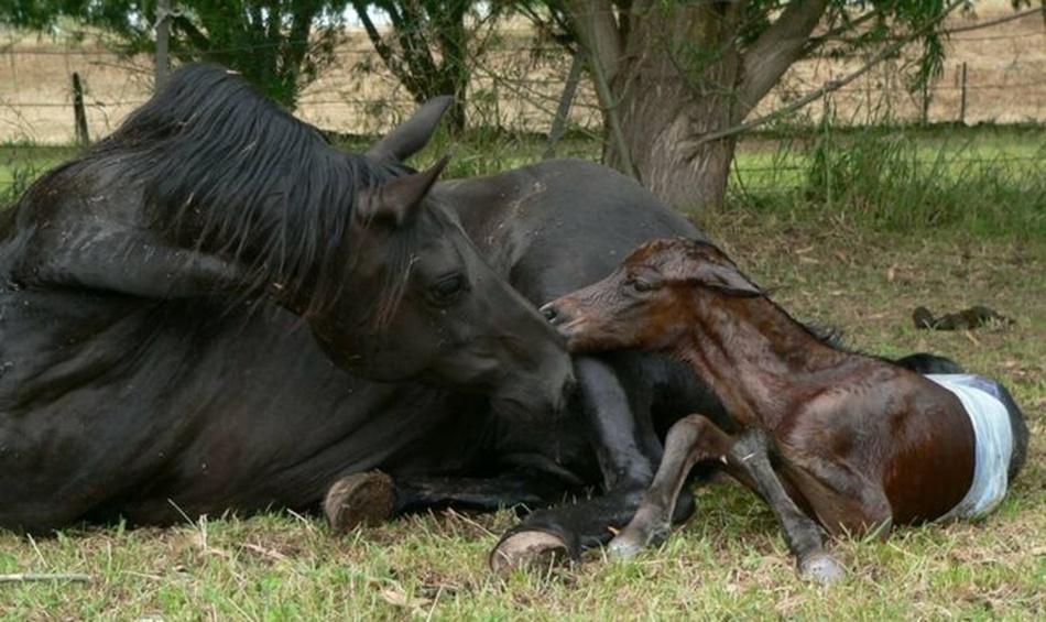Feeding The Heavily Pregnant Mare Dr K S Horse Sense